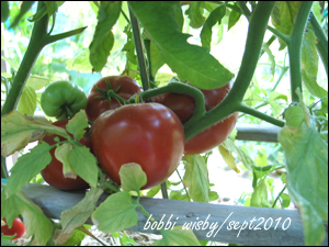 big beef tomatos