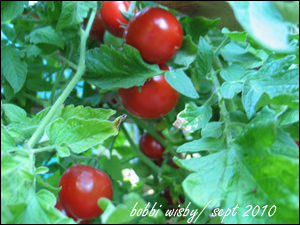 early girl tomatos