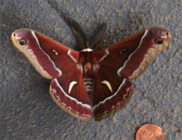 Redwood Moth