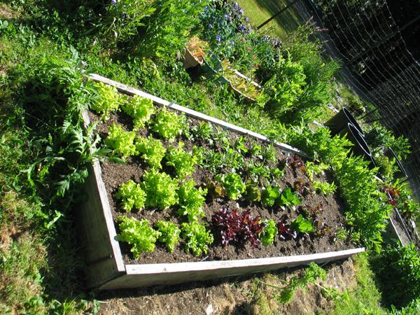 lettuce_april