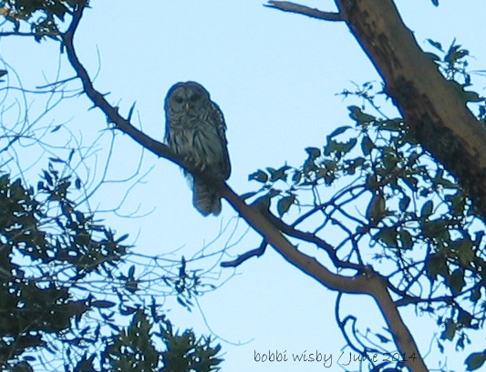 barred_owl_tree